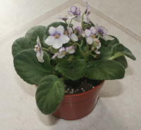 African Violet Bought In The Store For Less Than $1