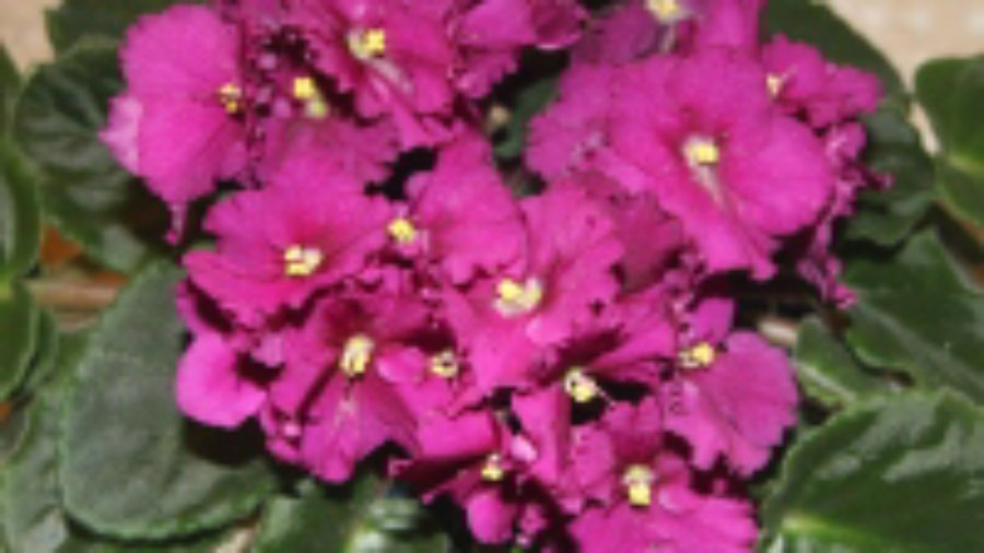 How To Keep Your African Violets Healthy And Blooming